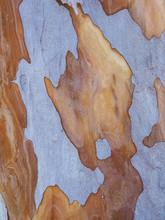 Australia, New South Wales, Blue Mountains, Smooth-barked Apple Tree (Angophora Costata) Bark