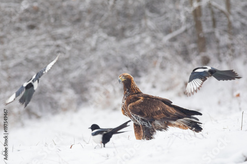 Fotografie, Tablou  Young Golden Eagle surrounded by common magpies in winter conditions