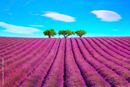 Fotobehang Lavendel Lavender and trees uphill. Provence, France