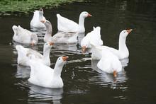 A Flock Of White Ducks