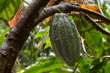 Cocoa Bean On A Branch, Indonesia, Bali
