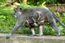 Long-tailed Macaques In Sacred Monkey Forest In Ubud, Bali