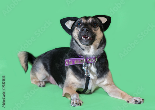 Foto  Funny dog mongrel with cat's toy ears on green background