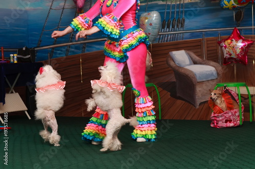 funny poodle dogs show children a circus performance