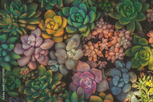 Fototapeta Close up of succulent plants, background or texture obraz