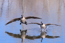 Canada Geese Landing In A Lake