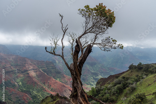 Fotografie, Obraz  Solitary tree at the edge of the Waimea Canyon on Kauai, Hawaii, in winter