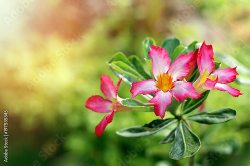 Azalea flowers on green nature background