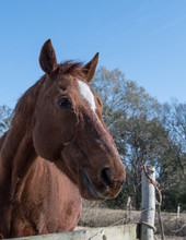 Brown Horse With White Star - Vertical