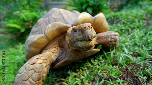 Foto op Aluminium Schildpad turtle on green grass