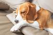 Pretty beagle dog
