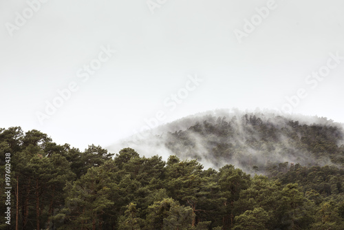 Misty fog in pine forest on mountain slopes