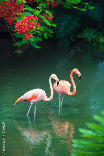 Fotobehang Flamingo The pink Caribbean flamingo goes on water. Pink flamingo goes on a swamp