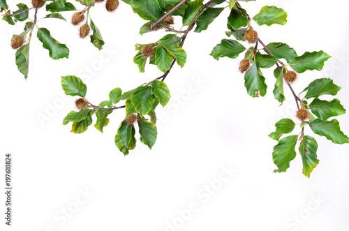 ein Zweig Rotbuche mit Bucheckern Buchenlaub im Herbst