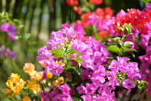 Beautiful Bunch Of Colorful Bougainvillea Flowers In Pink, Violet, Purple, Yellow And Red Colors In The Green Park