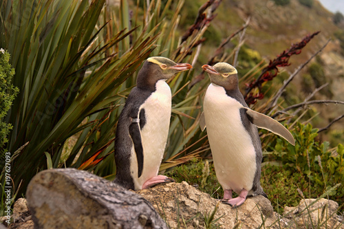The most precious penguin living, Yellow-eyed penguin, Megadyptes antipodes, New Zealand