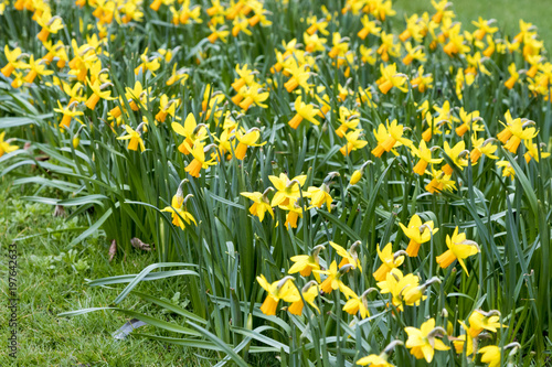 Deurstickers Narcis Daffodils growing outside in the grass