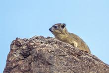 Rock Hyrax In Mapungubwe Natio...