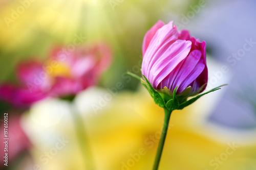 rozowy-kosmosu-kwiatu-tlo