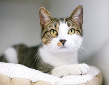A Tabby And White Domestic Sho...