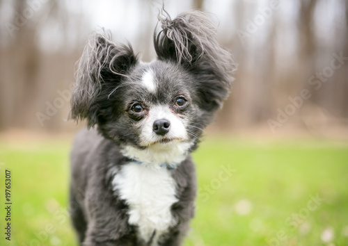 A Long Haired Chihuahua Mixed Breed Dog With Fluffy Ears