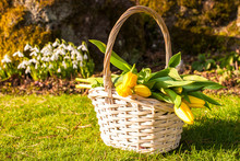 A Basket With Spring Yellow Tu...