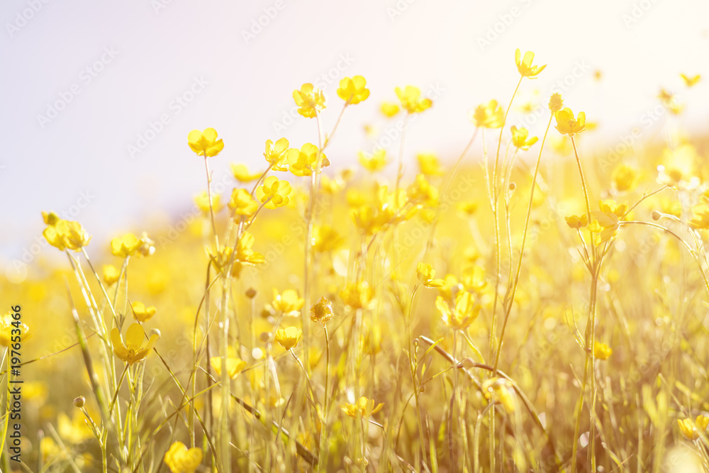 Fototapety, obrazy: Blooming yellow flower in the field on a sunny day in the summer time