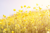 Fototapeta Kwiaty - Blooming yellow flower in the field on a sunny day in the summer time