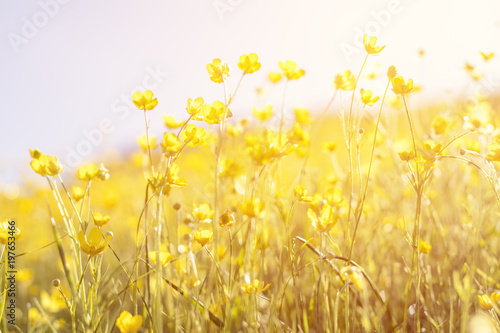 Fototapeta Blooming yellow flower in the field on a sunny day in the summer time obraz