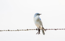 Mountain Bluebird (Sialia Currucoides) On Barbed Wire Fence