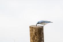 Mountain Bluebird (Sialia Currucoides) With Catepillar On Wood Post