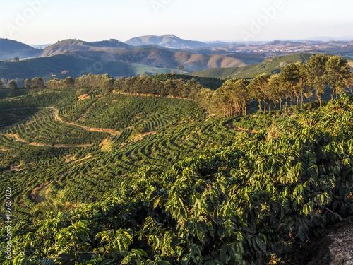 Fotografia Plantação de cefé em Minas Gerais - Coffe field in Minas Gerais State, Brazil