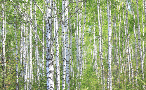 Tuinposter Berkbosje Beautiful young birch trees with green leaves in summer in sunny weather