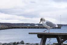 Walking Seagull At The Harbor