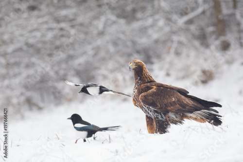 Fotografie, Tablou  Young Golden Eagle portreture surrounded by common magpies in winter conditions