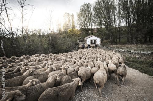 Sheep walking on dirt track