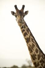 Portrait Of Giraffe Against Cl...