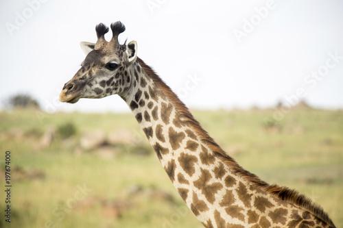 Foto op Canvas Giraffe Close-up of giraffe on field