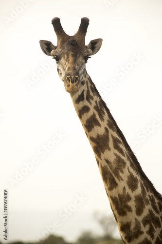 Foto op Canvas Giraffe Portrait of giraffe against clear sky