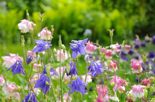Bright Garden Flowers In Early Spring (flower Aquilegia)
