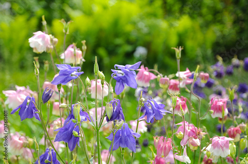 Bright garden flowers in early spring (flower Aquilegia) Wallpaper Mural