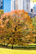 Manhattan New York City NYC Central park with one orange tree, nobody, cityscape buildings skyline in autumn fall season with yellow vibrant saturated foliage