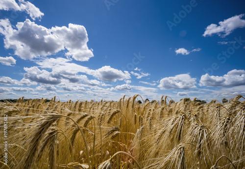 Austria, Hoersching, grain field, barley field