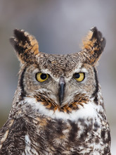 Great Horned Owl Staring At Ca...