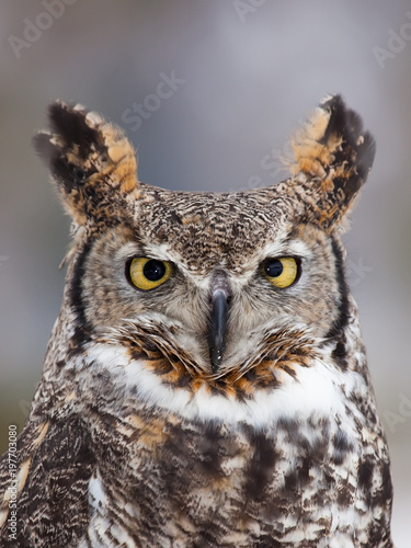 Keuken foto achterwand Uil Great horned owl staring at camera