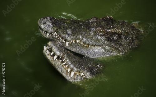 Autocollant pour porte Crocodile Swampy crocodiles in alga rich lake Asia.