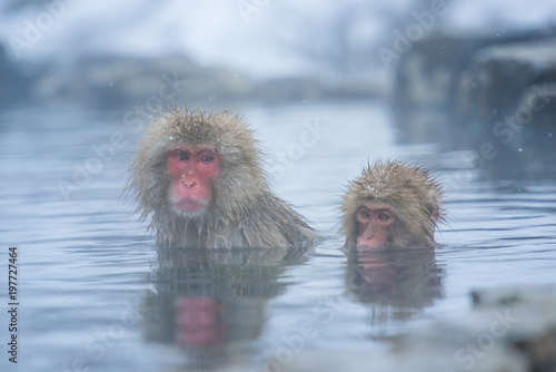Fotografie, Obraz  Snow monkey in a hot spring, Nagano, Japan.