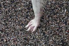 White Borzoi Wet Paw On Stone ...