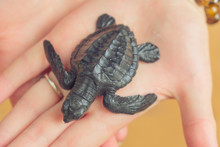 A Newborn Little Turtle In The Hand Of A Man.