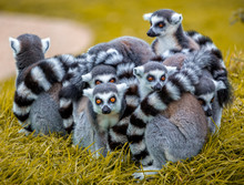 Group Of Ring Tailed Lemurs Hu...